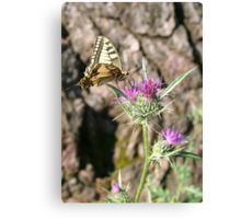 Scarce Swallowtail Butterfly and Thistle Canvas Print
