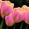 2 in 'Flowering Bulbs - The Color Pink' challenge of group 'Flowering Bulbs'