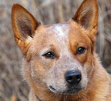 Tiny Australian Cattle Dog by welovethedogs
