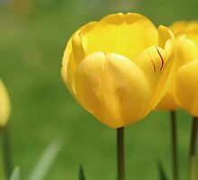 Yellow Tulips by rumisw