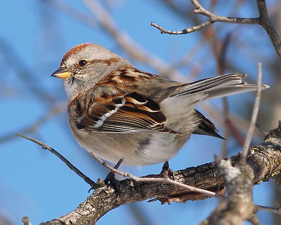 American Tree Sparrow by DigitallyStill