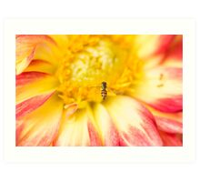 Little Bee Coming In For Landing On Dahlia Art Print
