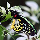 The Cairns Birdwing Butterfly by Sprinkla