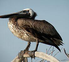 Proud Pelican by Rosalie Scanlon