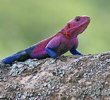 Agama Lizard, Serengeti National Park ,Tanzania by Adrian Paul