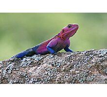 Agama Lizard, Serengeti National Park ,Tanzania Photographic Print