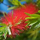 Bottle Brush by Kathy Silcock