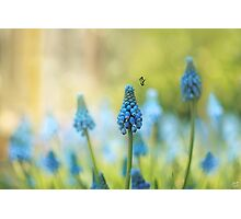 Muscari Faerie Land Photographic Print