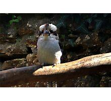 Kookaburra...... Photographic Print