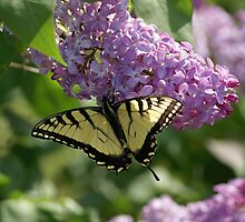 Eastern Tiger Swallowtail by Cassy Greenawalt
