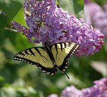 Eastern Tiger Swallowtail by Cassy Greenawalt