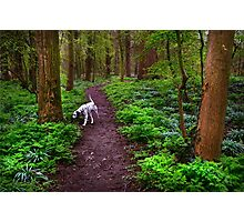 Dalmatian In the Spring Woods  Photographic Print