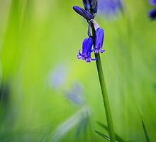 English woodland bluebell by JEZ22