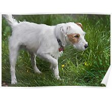 Parsons Jack Russell Poster