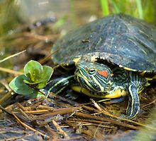 Froggy, the turtle by C. & L. | ABBILDUNG.ro Photography