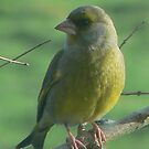 Greenfinch by qshaq