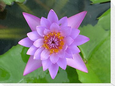 Fresh Water Lilly Flower by AravindTeki