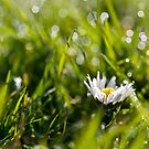 A daisy in the bokeh by benivory