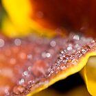Pansy droplet bokeh by benivory