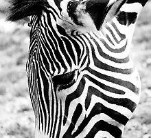 Zebra by Rupert Ronca