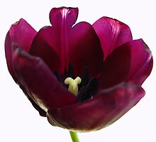Purple Tulip Two by Yvonne Carsley