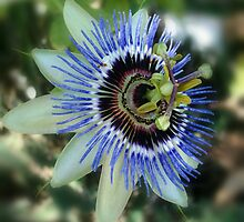 Passion Flower by indianne