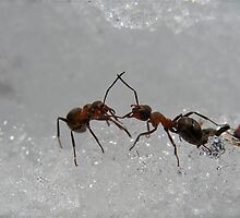 Dancing Ants by Katariina Lonnakko