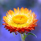 Orange daisy by Coloursofnature