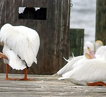 Fuel dock pelicans by Larry  Grayam