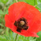 Cruciform Sign of the Poppy by Navigator