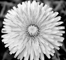 Dandelion III by Sheri Nye