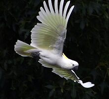 Cockatoo-Sulphur Crested by WendyJC
