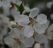 Apple Blossoms by Alyce Taylor