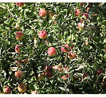 Ripe apples  on the tree Photographic Print