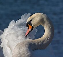 Mute Swan Portrait by M.S. Photography/Art