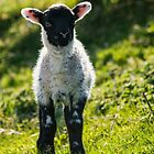Spring Lamb by M.S. Photography/Art