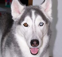 Young Siberian Husky by welovethedogs