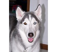 Young Siberian Husky