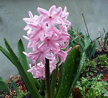 Happy Hyacinth After Spring Rain by M Sylvia Chaume