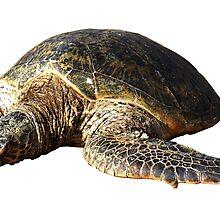 Turtle by aidsch