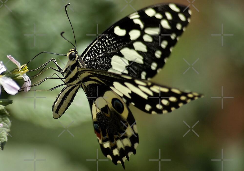 THE CITRUS SWALLOWTAIL- Papillio demodocus by Magriet Meintjes