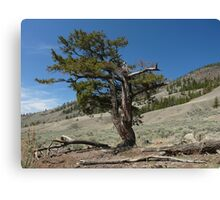 The twisted fir Canvas Print