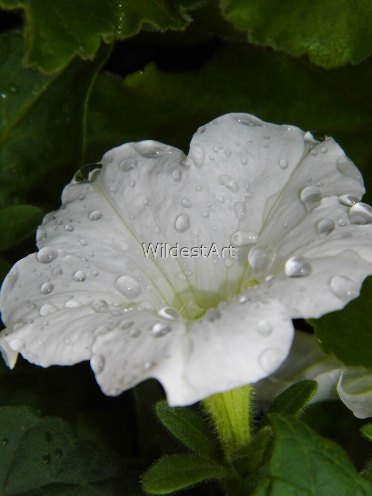 Drops On The Petunia by WildestArt