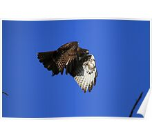 Red Tail Flies With Folded Wings Poster