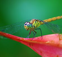 winged dragon by Tamara Cornell