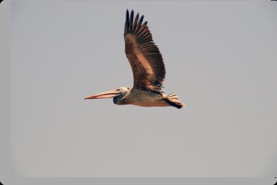 Pelican by AravindTeki