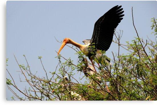 Painted Storks by AravindTeki