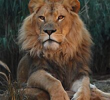 Young Lion Johari by MareeDavy