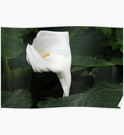 Lily of Kew Poster