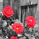Wild Irish Roses? by Brad Sumner